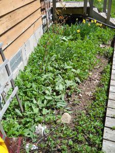 The weedy spring garden