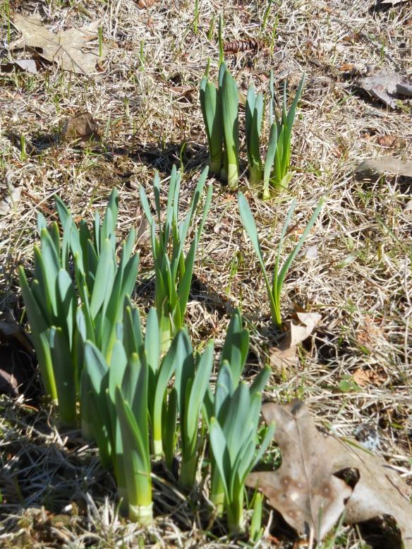 Spring bulbs 1